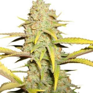 Royal Queen Seeds - OG Kush Feminised (3 pack)