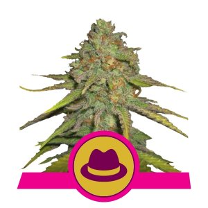 depicted is the one and only OG Kush bred by royal queen seeds . og kush is one of the must haves in your grow room
