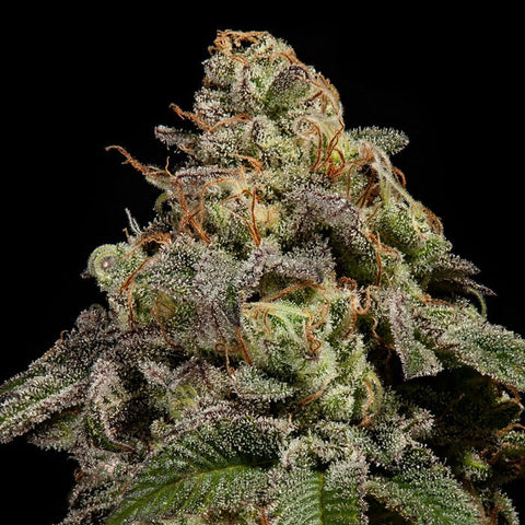 Ripper Seeds - OMG Feminised (1 seed)