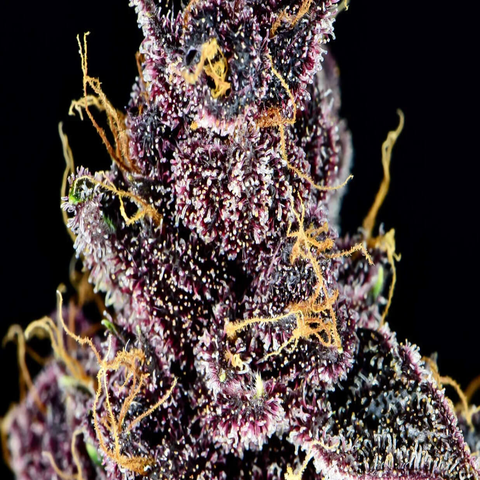 A close-up of purple lemonades dark bud is depicted with glittering trichomes