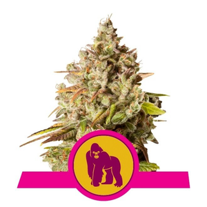 Royal Queen Seeds - Royal Gorilla Feminised (3 pack)