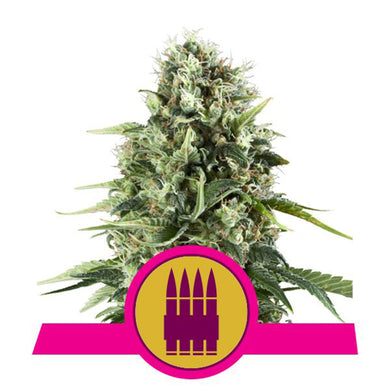 depicted is royal queen seeds AK kush also known as afghan kush or a variant of ak 47 , use this strain to aid in anxiety management
