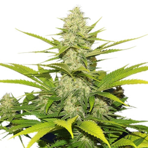 Royal Queen Seeds - Skunk XL Feminised (3 pack)