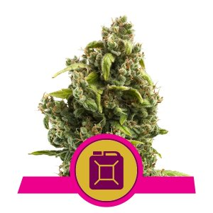 depicted is sour diesel , sour diesel is one of the most well known weed strains for it's awesome high