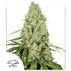 depicted is Dutch Passions Think Fast Ruderalis based strain with a dense top nug . want to grow weed yourself ? Buy only the best quality and internationally bred cannabis genetics