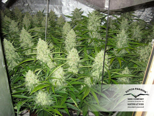 Dutch Passion 's Think Different Autoflowering strain is depicted with thick, frosty buds. Have you been looking for local seed banks in south africa ? Your search is over thanks to sangoma seeds aouth africa , a local south african cannabis seed retailer