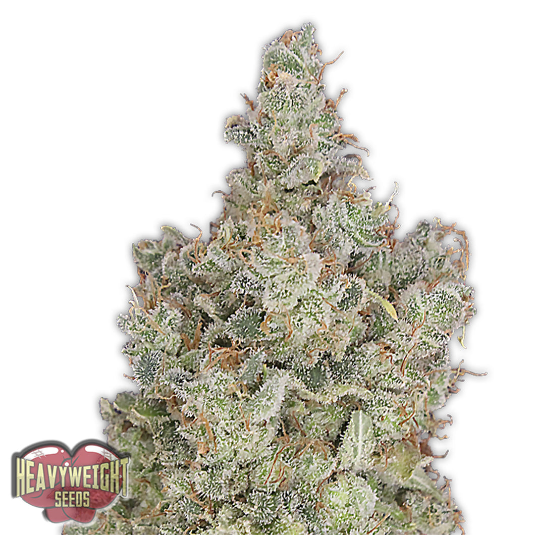 depicted is heavy weight seeds total paralysis a potent marijuana strain with high thc content