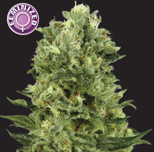 depicted is white thunder a cannabis strain bred by keraseeds, did you know that it is legal to grow cannabis in south africa ? buy your seeds now