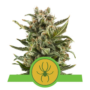 depicted is royal queen seeds white widow automatic or auto flowering version
