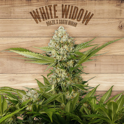 Paramount Seeds - White Widow Feminised (1 seed)