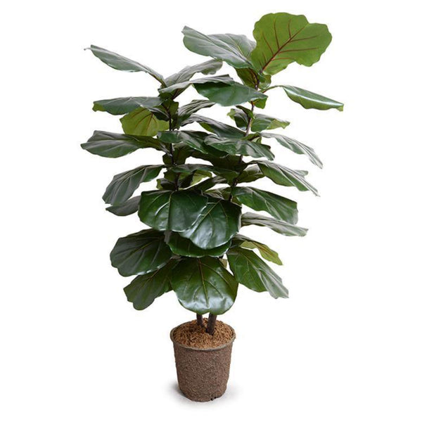 Fiddle Leaf Fig Large-Leaf Tree