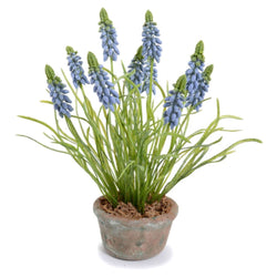 Blue Grape Hyacinth in Terracotta Vase