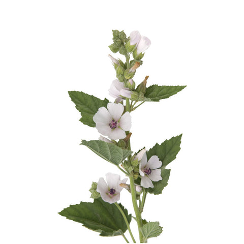 products/althaea-marshmallow-herb-image.jpg