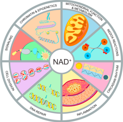 What is NAD+ and What does NAD+ do for you? Picture describes the benefits of NAD+. Coast Drink (Coast Health) includes NMN as a precursor to NAD+ for cellular health, anti-aging, skin health, DNA repair, better sleep, reduce inflammation, and prevent hangovers.