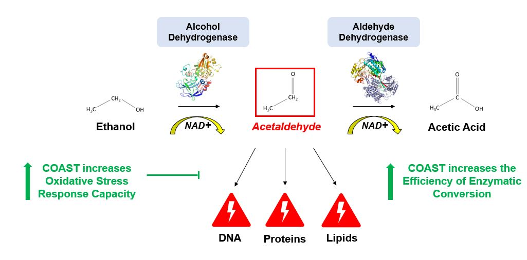 Picture describing the process of alcohol metabolism. Ethanol converts into a toxin acetaldehyde by means of alcohol dehydrohenase and uses NAD+. Acetaldehyde causes hangovers and longer-term damage from drinking. Acetaldehyde then is converted into acetic acid by means of aldehyde dehydrogenase and also uses NAD+. Your body then excretes acetic acid. Coast Drink (Coast Health) increases the oxidative stress response capacity of your body and also increases the efficiency of the enzymatic conversions.