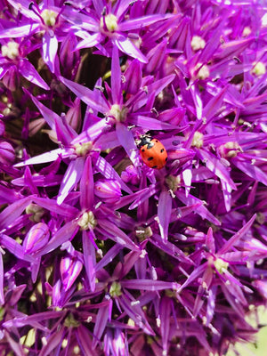 Ladybugs Love the Pests in Your Garden