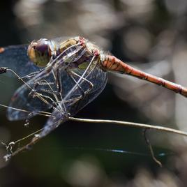 Mosquito-Eating Dragonflies
