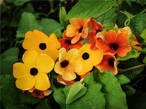 Black-Eyed Susan Vine Mix