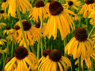 Echinacea - Paradoxa or Ozark Yellow Coneflower