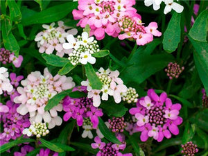 Fairyland Dwarf Mix Candytuft