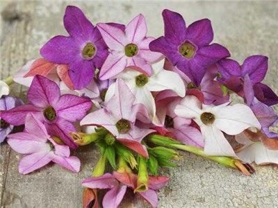 Scentsation Mix Nicotiana