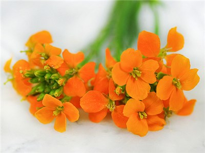 Siberian Wallflower - Wildflower