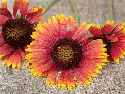 Gaillardia Indian Blanket - Wildflower