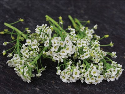 Tall White Sweet Alyssum