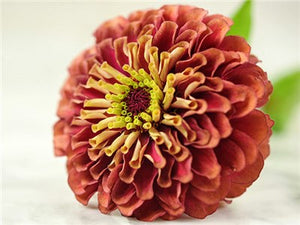 Queen Lime Red Zinnia