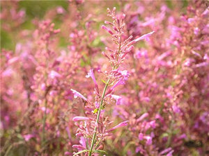 Agastache - Mosquito Plant or Texas Hummingbird Mint 'Heather Queen'