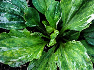 Plantain - Variegated