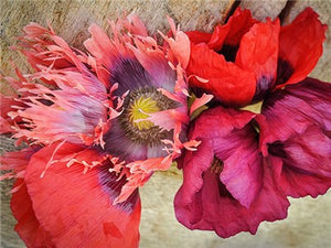 Florist Pepperbox Poppy