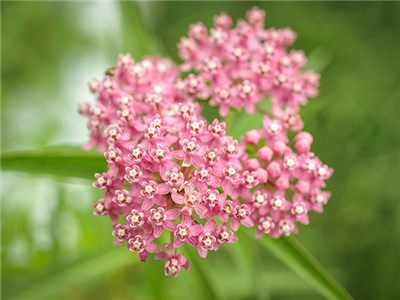 Milkweed - Red or Swamp