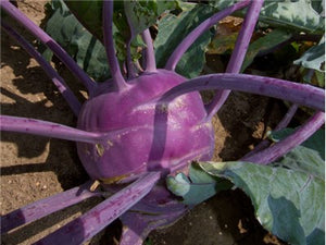 Early Purple Vienna Kohlrabi