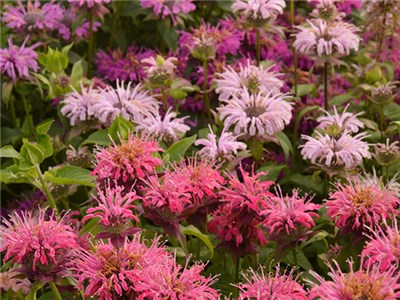 Bee Balm - Spielarten Mix
