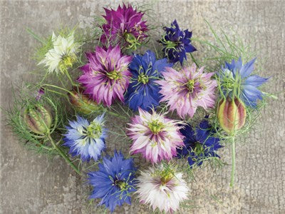 Miss Jekyll Mix Love-In-A-Mist