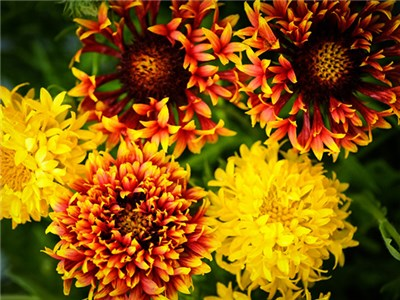 Lollipop Mix Gaillardia