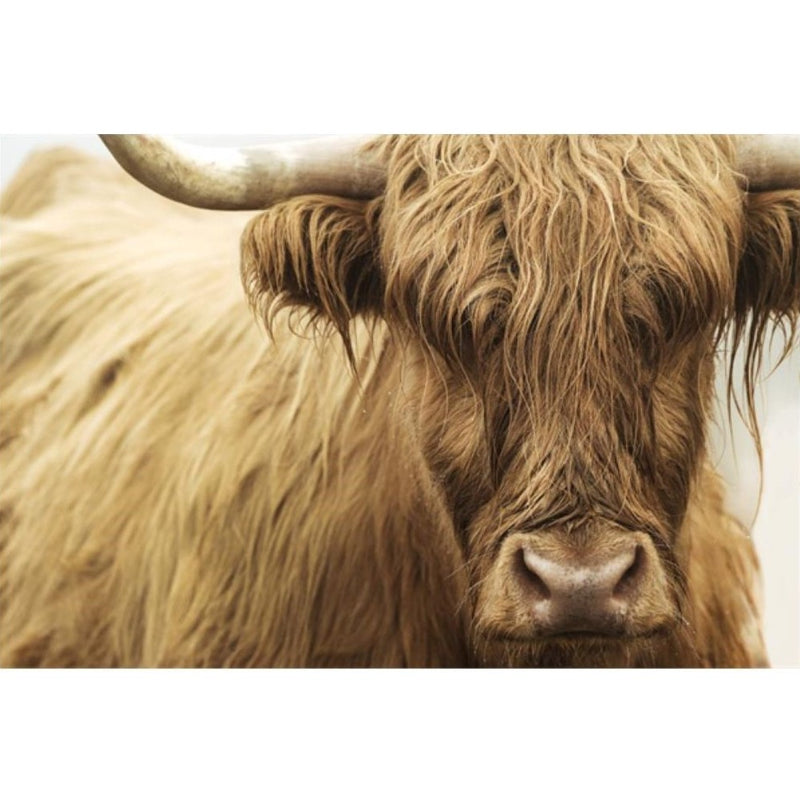 HIGHLAND CATTLE III