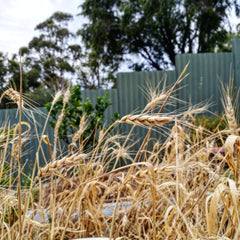 wheat-grain-harvest-home-grown-adelaide