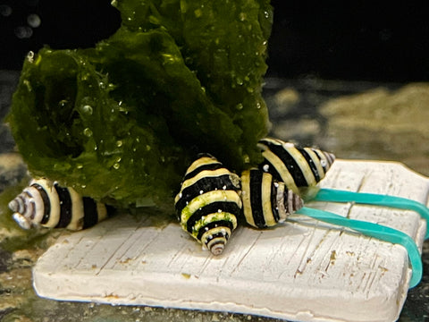 Bumblebee snails (Engina sp.)