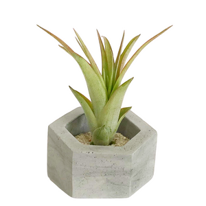 Gray Hexagon Holder with Air Plant