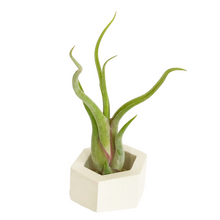 Load image into Gallery viewer, White Hexagon Holder with Air Plant
