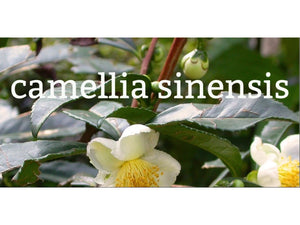 Ingredient Spotlight: Camellia Sinensis (aka green, white and black tea)