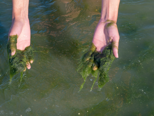 Are Algae an Alternative for Single-Use Plastic?