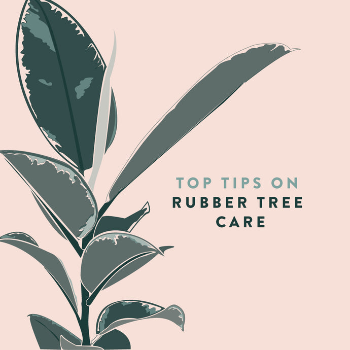 Rubber Tree Plant Care 101