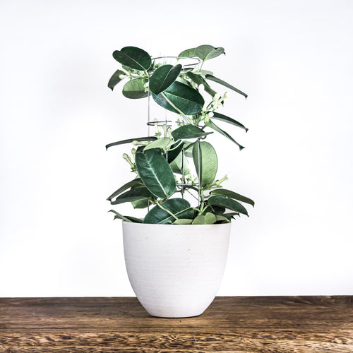 Indoor-plant-wax-flowers-leaf-envy-1