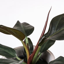 Load image into Gallery viewer, Plant-Philodendron-Imperial-red-leaf-envy-leaf