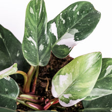 Load image into Gallery viewer, indoor-plant-Philodendron-white-princess-leaf-envy-leaf.jpg