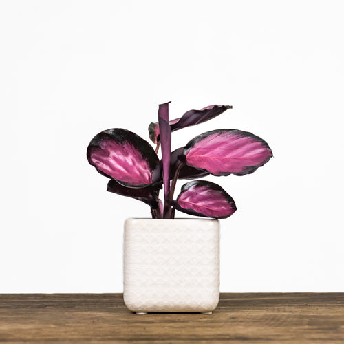 indoor-plant-calathea-rosy-leaf-envy-1