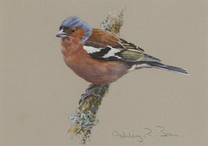 Chaffinch by Ashley Boon